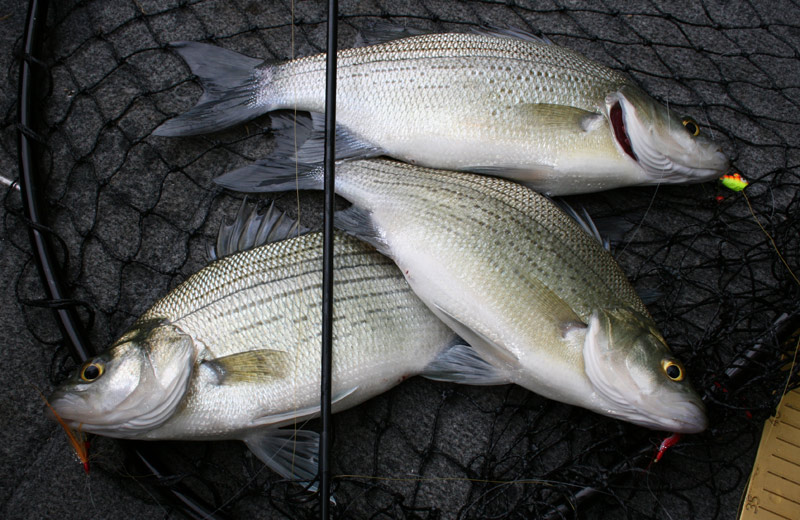Catching tons of white bass on a double rig